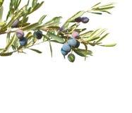 Ramos de oliveira com as azeitonas e as folhas isoladas no fundo branco Imagens de Stock Royalty Free