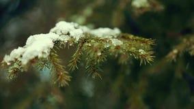 Ramos de pinheiro video estoque