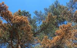 Ramos de pinheiro imagens de stock