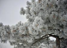 Ramos de pinheiro congelados cobertos na geada foto de stock royalty free