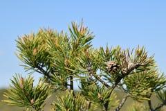 Ramos de pinheiro frescos na primavera Foto de Stock