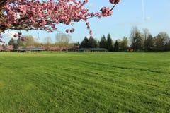 Ramos de suspensão de flores cor-de-rosa em um campo verde Imagem de Stock Royalty Free