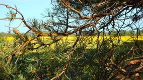 Ramos de um pinho em um fundo de um campo amarelo dos girassóis fotografia de stock