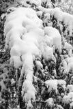 Ramos de uma árvore coberta e impedida com neve fresca Enegreça a Fotos de Stock Royalty Free