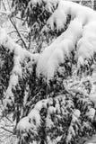 Ramos de uma árvore coberta e impedida com neve fresca Enegreça a Fotografia de Stock Royalty Free