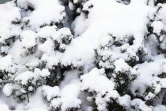Ramos de uma árvore de Natal coberta com o abeto vermelho natural da neve após a queda de neve no parque, fundo do inverno, ano n Fotos de Stock Royalty Free