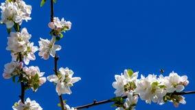 Ramos de uma árvore de fruto com flores brancas com toques cor-de-rosa e uma abelha que voa mais de um deles imagem de stock royalty free