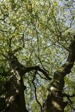 Ramos de uma árvore velha com um céu azul fotos de stock