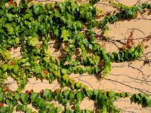 Ramos de uma hera verde nova Foto de Stock