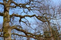 Ramos desencapados de uma grande árvore, árvore sem as folhas contra o céu Foto de Stock Royalty Free