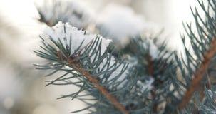 Ramos do abeto cobertos com a neve na manhã com neve e luz solar morna Imagens de Stock