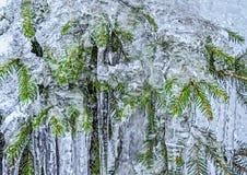 Ramos do abeto prendidos no gelo Foto de Stock