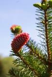 Ramos do abeto vermelho de florescência com os cones vermelhos na floresta Fotos de Stock