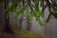 Ramos do abeto vermelho que caem para baixo no orvalho na floresta enevoada fotografia de stock