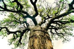 Ramos do Baobab com folha verde imagens de stock royalty free