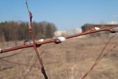 ramos do Bichano-salgueiro com amentilhos Foto de Stock
