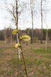ramos do Bichano-salgueiro com amentilhos Fotos de Stock Royalty Free