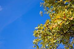 ramos do carvalho com as bolotas contra o céu azul imagens de stock