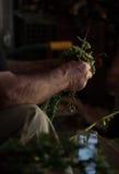 Ramos do corte do fazendeiro dos oréganos e de amarrá-los em pacotes imagem de stock