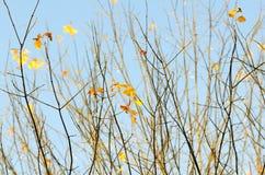 Ramos do envelhecimento de uma árvore e folhas de outono meditativos no ouro e no vermelho Imagens de Stock