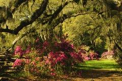 Ramos do gotejamento de Live Oak Trees com musgo espanhol e azáleas Foto de Stock