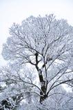 Ramos do inverno das árvores na geada na neve e no whi do fundo Fotos de Stock