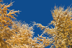 Ramos do larício contra o céu azul Fotografia de Stock