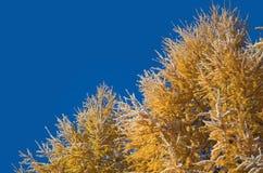 Ramos do larício contra o céu azul Imagens de Stock