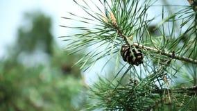 Ramos do pinheiro com cones do pinho video estoque