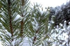 Ramos do pinheiro sob a neve na floresta bonita do inverno Fotografia de Stock