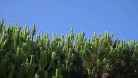 Ramos do pinho com os Pegs que balançam no vento contra o céu azul Dia ensolarado do verão morno em Santa Monica Close-up vídeos de arquivo
