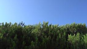 Ramos do pinho com os Pegs que balançam no vento contra o céu azul Dia ensolarado do verão morno em Santa Monica Close-up filme