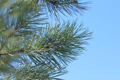Ramos do pinho contra o céu azul fotos de stock