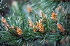Ramos do pinho escocês com os cones masculinos amarelos Fotografia de Stock