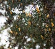 Ramos do pinho escocês com os cones masculinos amarelos Foto de Stock Royalty Free