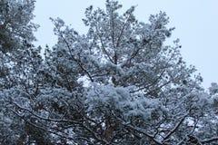 Ramos do pinho, neve branca, inverno, árvore sempre-verde foto de stock