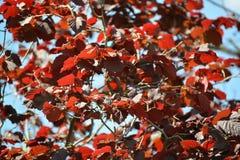Ramos e folhas de uma avelã de um roxo ordinário do formulário (núcleo imagens de stock