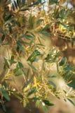 Ramos e folhas de uma oliveira em um bosque verde-oliva imagens de stock