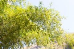 Ramos e folhas do bambu Imagem de Stock Royalty Free