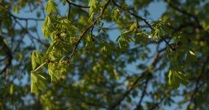 Ramos e folhas que balançam calmamente no vento Luz solar dourada da tarde video estoque