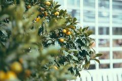 Ramos e frutos da tangerina decorativa Fotografia de Stock Royalty Free