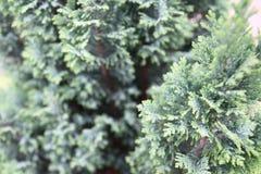 Ramos e fundo verdes naturais do macro das folhas imagem de stock