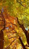 Ramos e tronco com as folhas amarelas e verdes brilhantes da árvore de bordo do outono contra o fundo do céu azul Vista inferior imagens de stock