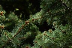 Ramos escuros da árvore conífera fotografia de stock royalty free