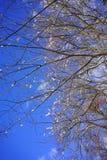 Ramos gelados das árvores do inverno Imagens de Stock Royalty Free
