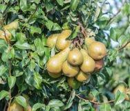 Ramos inteiramente carregados de uma árvore de pera Imagens de Stock Royalty Free