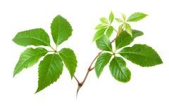 Ramos isolados da árvore da planta da hera ou da vinha com folhas o Fotos de Stock