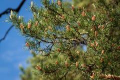 Ramos luxúrias da pele-árvore com muitos cones novos nave Fotos de Stock Royalty Free