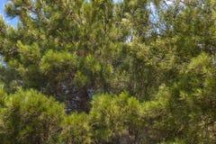Ramos magníficos do pinheiro Imagem de Stock
