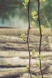 Ramos novos de uma videira em um fundo de logs velhos e de um lago Imagens de Stock